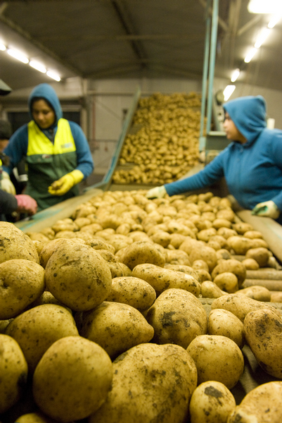 General shot of factory workers inspecting potato quality.