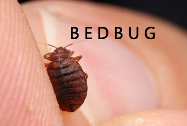 The Trouble With Bedbugs Infonews Co Nz New Zealand S Local News