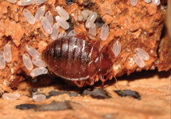 Bed Bugs In Auckland Infonews Co Nz New Zealand S Local News Community