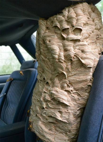 wasp nest in car