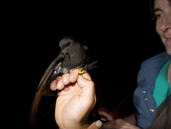 Bird in the hand, Dr Steffi Ismar holds the first NZ storm petrel captured on land, 22 Feb 2013.