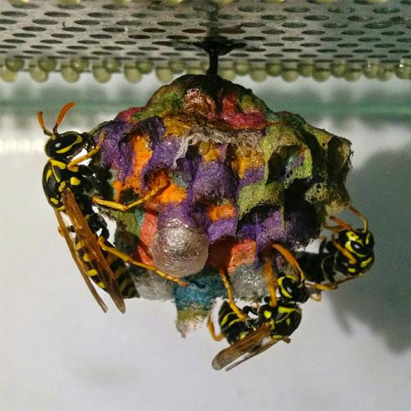 wasps in colour