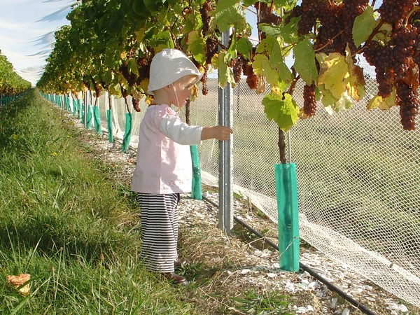 Daniel and Ursula's son Thomas amongst their five-star Pinot Gris vines