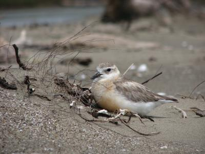 The rare New Zealand dotterel